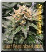 Amnesia Lemon by Just Feminized Mix & Match Single Cannabis Seeds